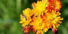 jestřábník oranžový Plants, Catalog, Flora, Plant, Planting