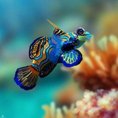 Types Of Pet Fish Great Barrier Reef Mandarinfish by pamelap Colorful Animals, Colorful Fish, Tropical Fish, Saltwater Aquarium Fish, Saltwater Tank, Coral Reef Aquarium, Nature Aquarium, Marine Aquarium, Coral Reefs