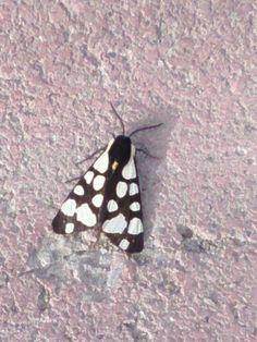 Beşiktaşlı kelebek, akademi kelebeği