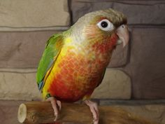 Pineapple Green Cheek Conure I'm so excited! I might buy one of these soon!-shannon