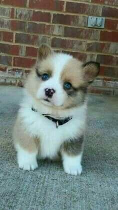 Wanting another Corgi puppy !