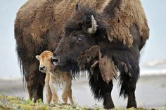 Mama bison loving on her baby~