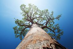 size: Photographic Print: Baobab Tree with Green Leaves on a Blue Clear Sky Background. Madagascar by Dudarev Mikhail : Lonely Planet, Baobab Powder, Baobab Tree, Home Security Alarm System, Normal Wallpaper, Eco Architecture, Excursion, Plantar, Custom Wallpaper