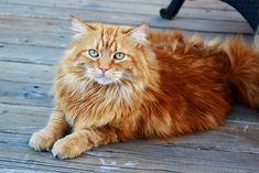 And the most SPECTACULAR. | 24 Orange Cats Just Being Their Adorable Selves