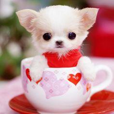 For MaryAnn. Teacup chihuahua, so much cuteness! Tiny Puppies, Teacup Puppies, Cute Puppies, Tiny Dog, Teacup Maltese, Havanese Puppies, Maltese Dogs, Teacup Chiwawa, Teacup Pomeranian