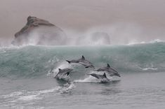 Peru—Forty miles southeast of Lima, against a winter tableau of wave, rock, and sky, four bottlenose dolphins vault in sync through the shallows.