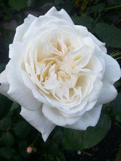 New open rose