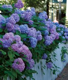 Salt Tolerant: So excited!!! Big Flowers from Bigleaf Hydrangeas | Fine Gardening
