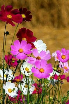 Garden Ideas: Flower garden ideas and gorgeous plants that work hard to save the bees in your garden and yard. Cosmos Flowers, My Flower, Spring Flowers, Wild Flowers, Beautiful Flowers, Deco Floral, Flower Pictures, Beautiful Gardens, Planting Flowers