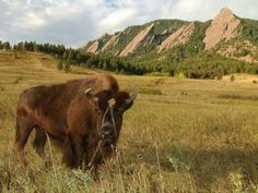 The coolest mascot in college athletics. Here comes Ralphie! Chautauqua Park, University Of Colorado, Boulder Colorado, Park Photos, Get Outside, Wildlife, Pure Products, Mountains, World