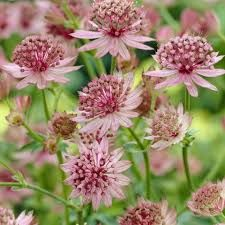 Image result for Astrantia pink
