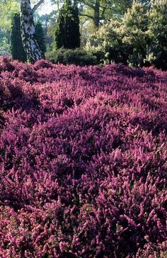Erica x darleyensis 'George Rendall'-Blooms Late Fall to Early Spring--Flowers open pink then darken to Heliotrope Red over Medium Green foliage tipped red initially fading to pink and cream. For sale here: http://www.lazyssfarm.com/Plants/Shrubs/Cl-It%20Shrubs/shrubs_trees_Ci-E.htm#SHRU13281