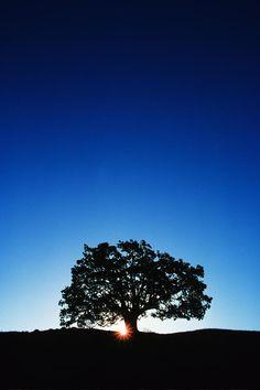 Hawaii Koa Tree