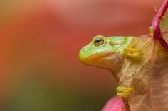Boomkikker in herfstkleuren Tree Frogs, Colours, Fall, Canvas, Prints, Animals, Products, Wall Canvas, Art Prints