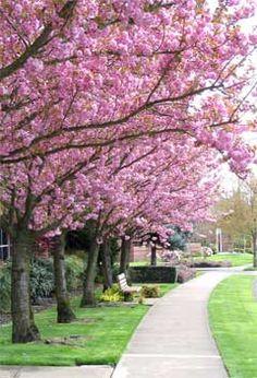 Kwanzan' Flowering Cherry Tree