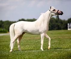 """All around potential and sired by the great late stallion """"The Joker"""" Offered by Mini Horse Sales"""