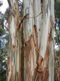 Image result for blue gum tree