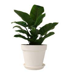 De knalgroene bladeren van de Ogreen Titan plant springen meteen in het oog. #ogreen #urbanjungle
