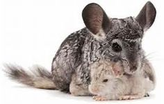 Chinchillas - Yahoo Image Search Results