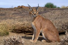 "The caracal is a medium sized cat which it spread in West Asia, South Asia, and Africa. The word Caracal is from Turkey ""Karakulak"" which means ""Black Ears"". Here is all about caracal as a pet. Baby Caracal, Caracal Cat, Serval, Rare Animals, Animals Images, Wild Cat Breeds, Exotic Cats, Small Cat, African Animals"