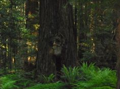 Another look at the man in the tree. Best hiking trails in redwoods