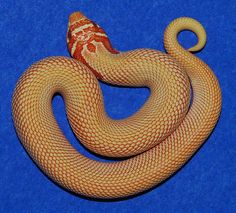 Red/Extreme Red Albino Superconda Western Hognose Snake