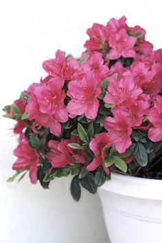 Caring For Azalea Plants In Pots: How To Care For A Potted Azalea Plant - Neat and compact, azaleas are well-suited for container growing. If the prospect of growing azaleas in containers piques your interest, click this article for more information about caring for azalea plants in pots.
