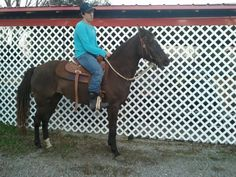 6 year old rocky mountain mare - $500 (Borden)