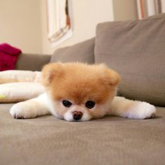 Marvelous Pomeranian Does Your Dog Measure Up and Does It Matter Characteristics. All About Pomeranian Does Your Dog Measure Up and Does It Matter Characteristics. Pomeranian Facts, Pomeranian Breed, Cute Pomeranian, Pomeranian Haircut, Pomeranians, Cute Baby Dogs, Cute Baby Animals, Tiny Puppies, Cute Puppies