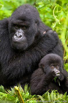 Mountain Gorillas of Rwanda Silverback Gorilla, Chimpanzee, Animals And Pets, Baby Animals, Cute Animals, Primates, Types Of Monkeys, Dian Fossey, Gorilla Gorilla