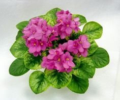 "Key Lime Treat (Sorano)  Semidouble to double dark pink pansies cluster nicely over Champion foliage of bright yellows and greens. ""Treat"" yourself to this great variety! Standard  Полумахровые двойные темно- розовые аньтины глазки красиво возвышаются над яркими желтыми и зелеными листьями. Новинка 2015 г"
