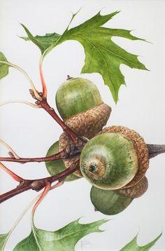 Botanical Drawings, Botanical Illustration, Botanical Prints, Illustration Art, Illustrations, Watercolor Flowers, Watercolor Paintings, Watercolour, Fruit Painting