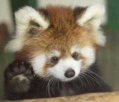 #Cute #Redpanda #Animals