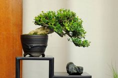 For an easy to style and grow tree, try one of these boxwood bonsai. They are highly respected by expert and beginner alike. The strong trunks and small leaves are an asset in making this plant look like and old tree!