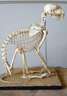origineel, antiek skelet van poes / kat