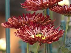 How to Grown Mums | HGTV Gardens