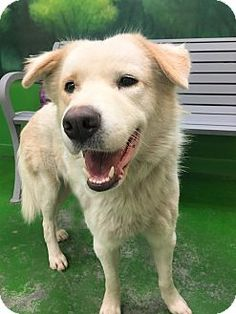 Pictures of JUDE a Great Pyrenees/Labrador Retriever Mix for adoption in Milwaukee, WI who needs a loving home.