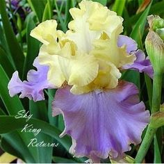 "irises - like the color combination - SKY KING RETURNS - Tall Bearded - 38""  n/a"