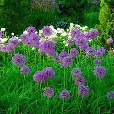 alliums in the garden - Google Search