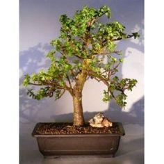 Bonsai Boy's Baby Jade Bonsai Tree Portulacaria Afra$295.00: www.amazon.com/Bonsai-Boys-Baby-Jade-Portulacaria/dp/B004XVJOLS/?tag=sure9600pneun-20