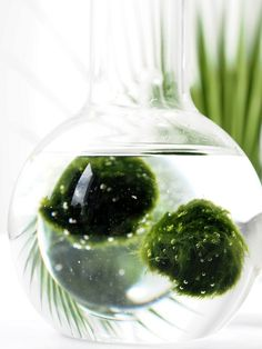 DIY-Marimo.Moss-Ball-Aquarium-Terrarium @monsterscircus