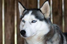 É quase impossível não se apaixonar por um Husky, mas antes de o adotar saiba um pouco mais sobre esta raça ;) #husky #cachorros #cães #animais #dogs