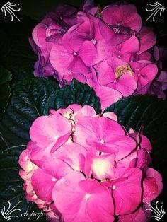 #pink#hydrangea