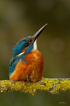 Kingfisher male.
