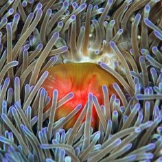 Colorful sea anemone - clownfish was quite nearby (not in this particular shot) Sea Anemone Sea Plants, Sea Anemone, Underwater World, Sea Creatures, Under The Sea, Deviantart, Anemones, Clownfish, Colorful