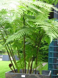 Instant Outdoor Room with large Australian Tree Fern art design landspacing to plant Australian Tree Fern, Australian Native Garden, Outdoor Plants, Outdoor Rooms, Outdoor Gardens, Outdoor Living, Inexpensive Landscaping, Backyard Landscaping, Landscaping Ideas