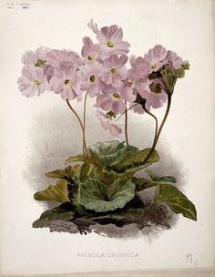 Poison_primula_(Primula_obconica);_flowering_plant._Chromoli_Wellcome_L0025246.jpg (1198×1548)