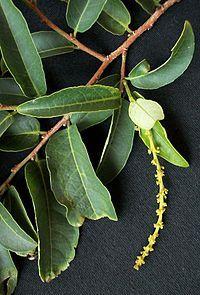 Sapium/Sclerocroton Integerrimus               Duiker-berry         Duikerbessie    9 m        S A no 343           Wikipedia, the free encyclopedia