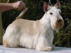 Scottish Terriers - Champdogs ®                                                                                                                                                                                 More