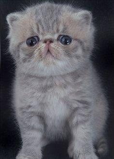 Blue cream tabby Exotic shorthair kitten aged 4 weeks by Chris, via Flickr